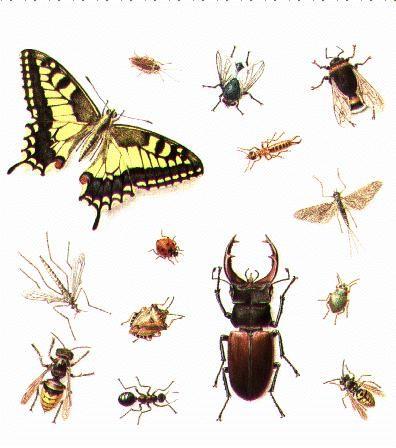 Insectes sauteurs